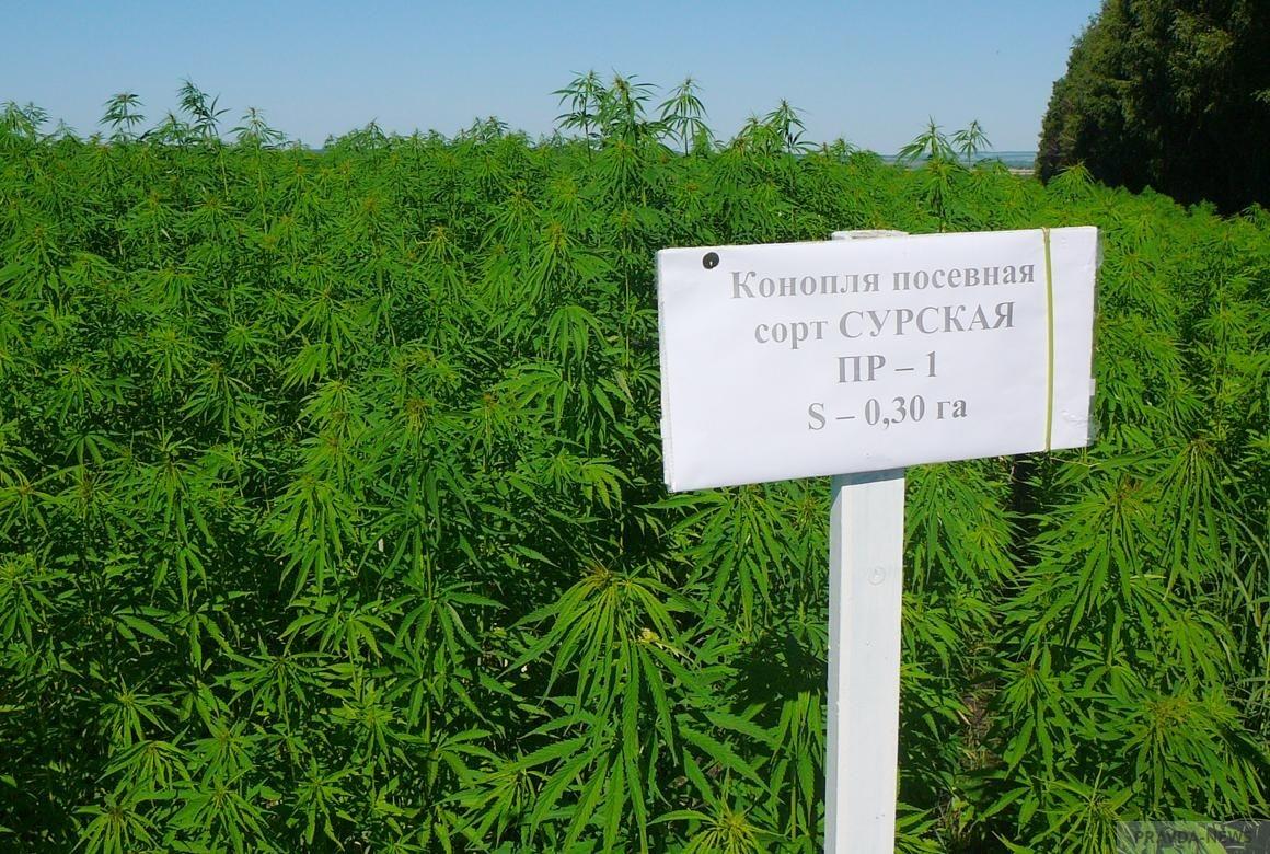 Выращивание конопли в пензе курение марихуаны на раннем сроке беременности