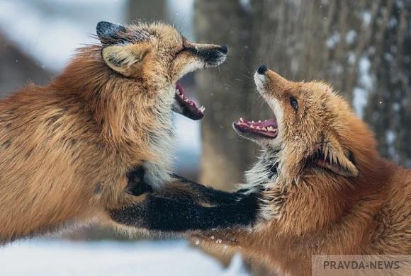 Пензенским охотникам заплатят деньги за отстрел лис